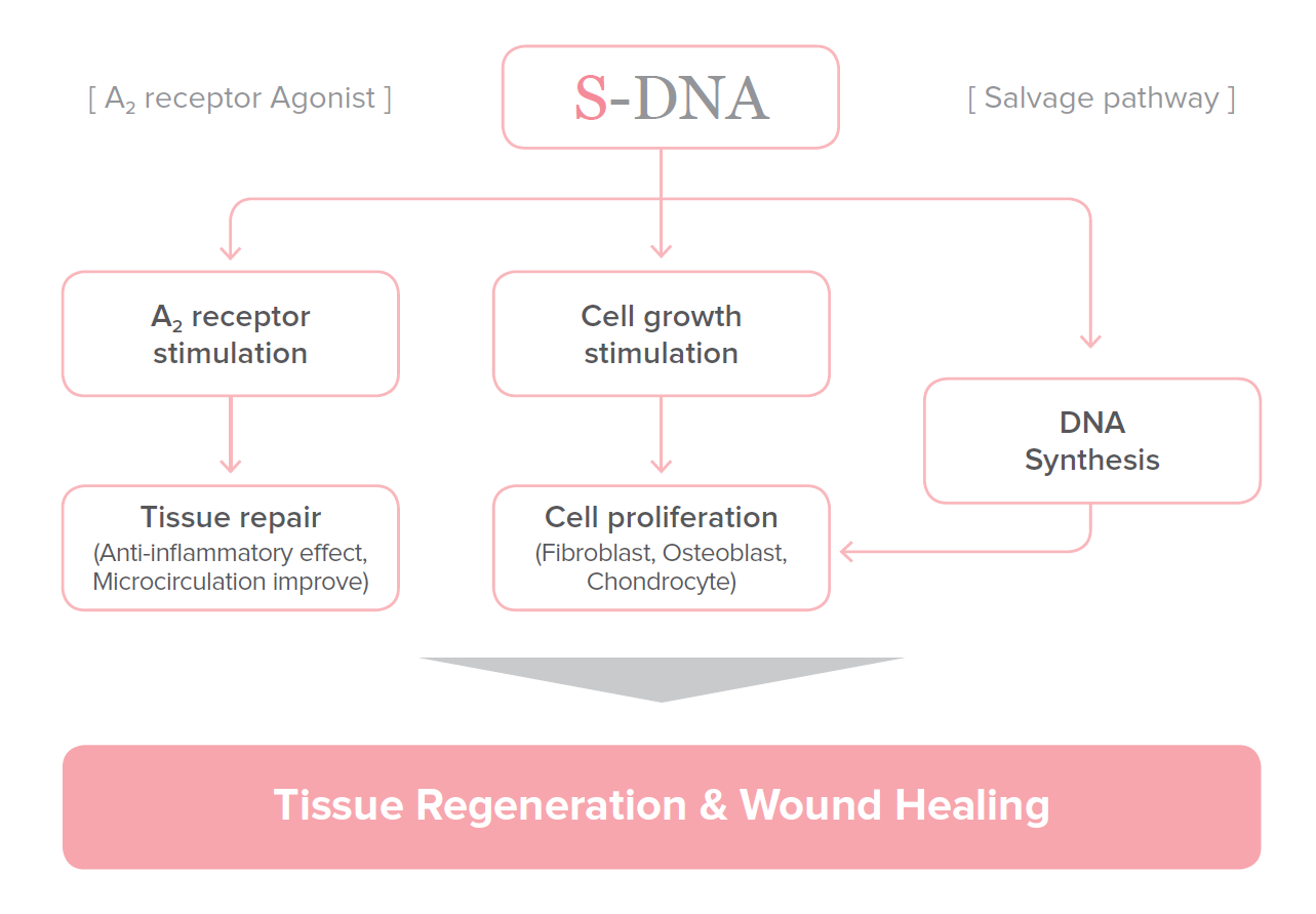 s-dna msotherapy cell regenerating DNA the mechanism of action of tissue regeneration and wound healing